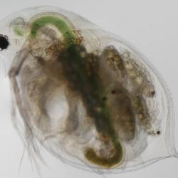 In the freshwater crustacean Daphnia obtusa Kurz, larger eye size was shown to be the source of a sizable reproductive advantage.