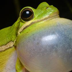 A green tree frog inflates its vocal sac to prepare for calling. USC Upstate students under USC Upstate biology professor Melissa Pilgrim's tutelage monitor for this and other types of frogs and toads in a seven-county area of the Upstate.