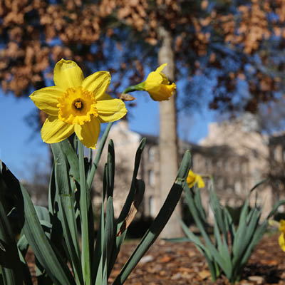 daffodils on campus