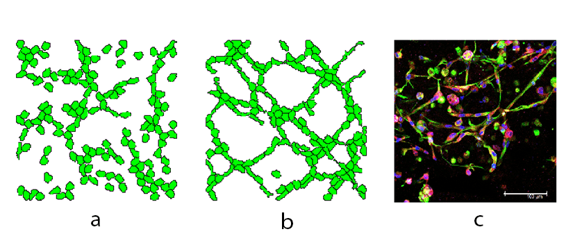 Simulation of a network formation of Endothelial cells