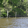 Remains of many past docks and wharves can be seen along the Ashley River
