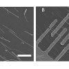 Cadmium sulfide nanowires are aligned on an oxidized silicon substrate prior to formation of metallic contacts using photolithography. Scale bars represent 10 microns.