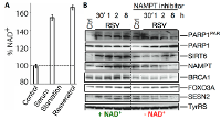 Fig. 3. A. TyrRS-mediated activation of PARP1 boosts cellular NAD+ levels.  NAD+ level was measured after serum starvation and treatment with resveratrol (RSV), conditions that activate PARP1 (2). B. NAD+ is indispensable for the nuclear functions of TyrRS. Inhibition of NAD+ regeneration through the salvage pathway using NAMPT inhibitor downregulates TyrRS/PARP1-dependent protective stress response in HeLa cells. Differential induction of protective stress response pathway proteins in the presence (+) and absence (-) of NAD+ were obtained after treatment with NAMPT inhibitor. This panel also represents images of proteins depicted in Fig.2.  PAR represents the poly-ADP-ribose polymer (image adapted from Sajish M and Schimmel, P. Nature 2015)