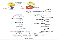 Fig.2. TyrRS is a novel modulator of NAD+ signaling.  Simplified representation of the NAD+ signaling pathways activated by TyrRS-mediated activation of PARP1 resulting in the inhibition of SIRT1 and regeneration of NAD+ (image adapted from Sajish M and Schimmel, P. Nature 519, 370–373, 2015).