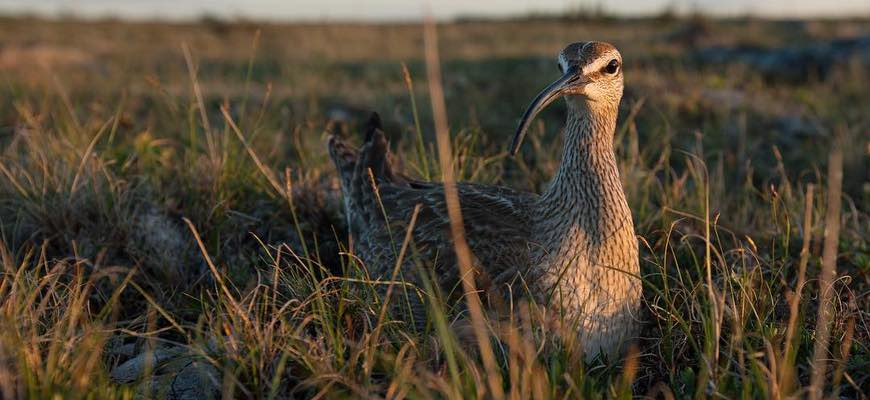 A long-beaked gray and brown migratory bird, the whimbrel, stands amid grass and other vegetation.