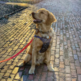 a golden retriever sits on a brick pathway on the historic Horseshoe