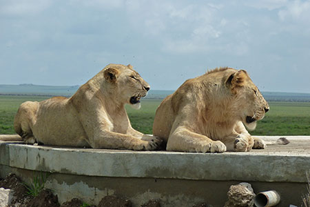 Lions relaxing in the Serengeti